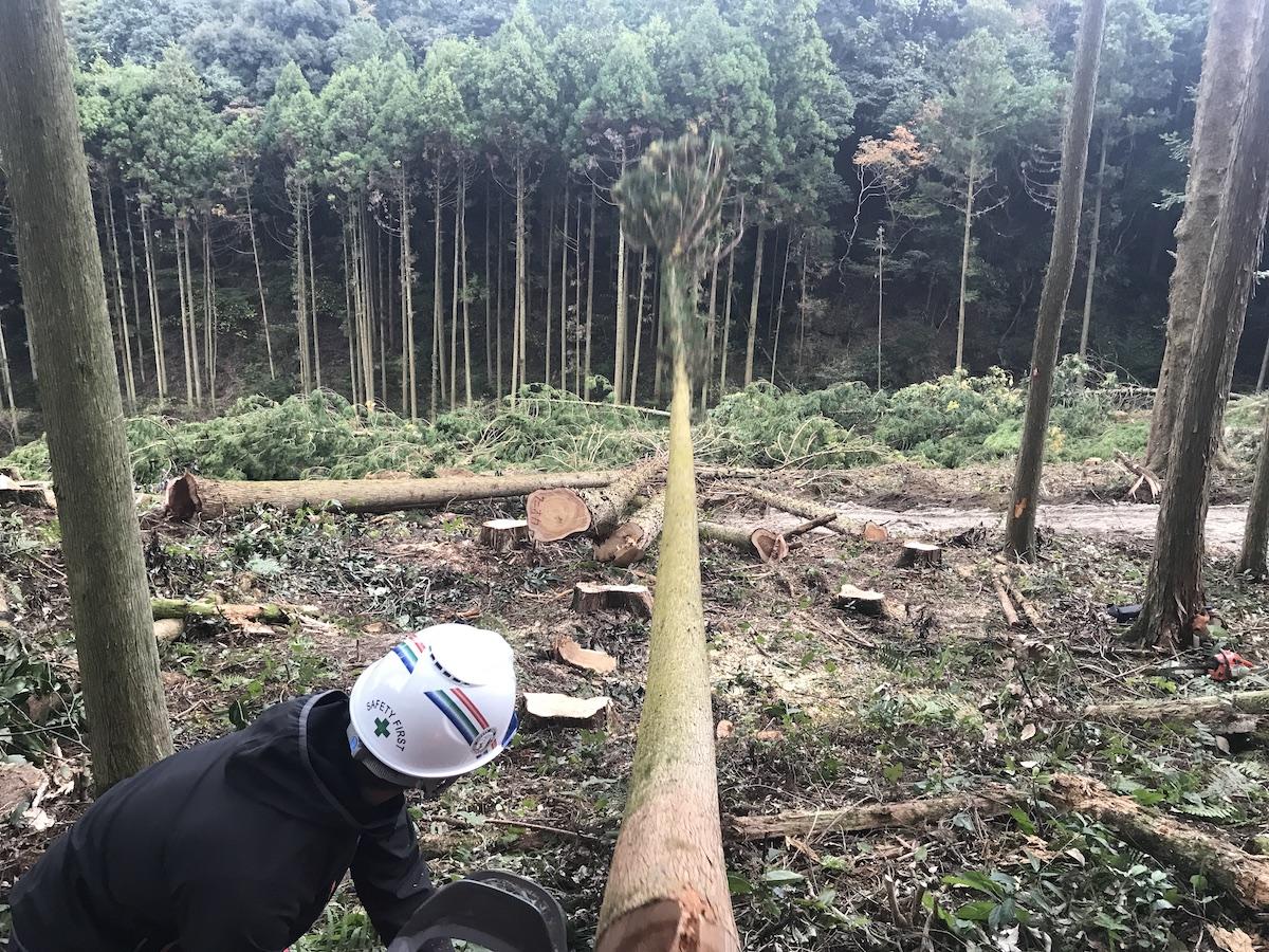 木を伐倒する瞬間。向こうに見える林に向かって木が倒れていく画像